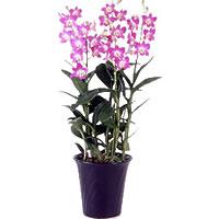 デンファレの育て方・お手入れ方法|花のプロである生産者が ...