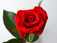 Rose of October:Rote Rose