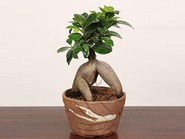 "Bonsai""Gajyumaru ガジュマル(Banyan)"""