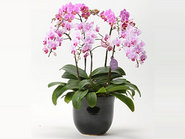 Middy Phalaenopsis Orchid