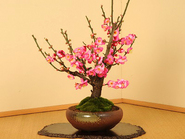 "Bonsai""Plum 梅Ume"""